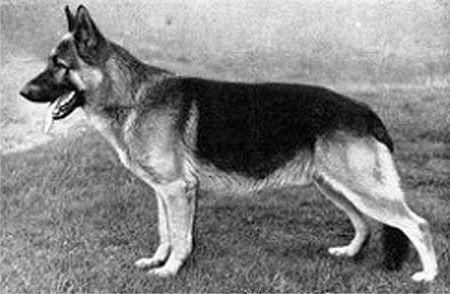 Все о немецкой овчарке - Страница 17 1951