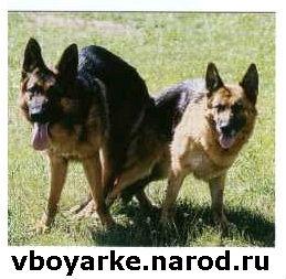 Немецкая Овчарка Вязка Боярка