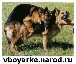 Вязка собак Боярка